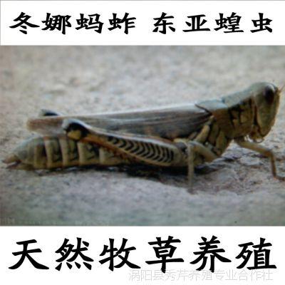 冬娜蚂蚱养殖基地现货批发冷冻东亚飞蝗蚂蚱 高蛋白食用蝗虫