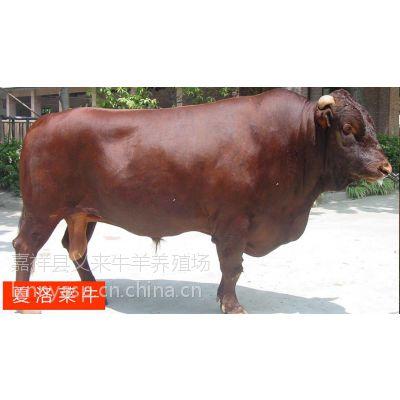 东莞哪里有牛犊买≈小牛价格≈≈≈≈≈≈[繁育性能:]