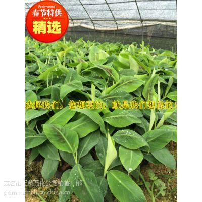 贵州二级西贡蕉杯苗丨优质脱毒组培苗培育丨大型二级育苗基地丨