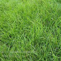 三水园林供应成都绿化草坪种子高尔夫球道专用狗牙根