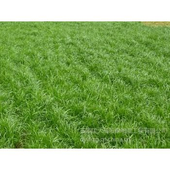 石家庄大禹厂家批发耐盐碱护坡黑麦高羊茅草坪草籽 成活率高