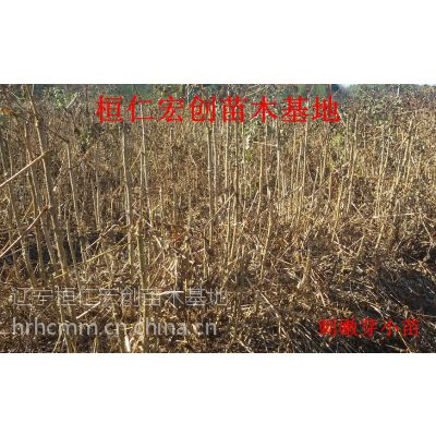 供应刺嫩芽、刺嫩芽基地、辽宁刺嫩芽、桓仁刺嫩芽、刺嫩芽小苗
