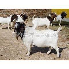 供应山东济宁正规波尔山羊养殖场