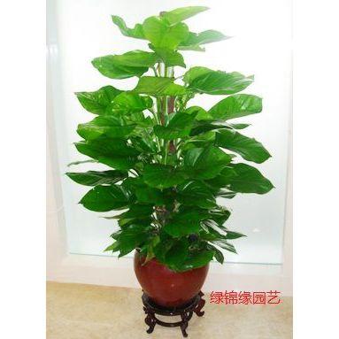 供应北京室内观叶植物租赁公司