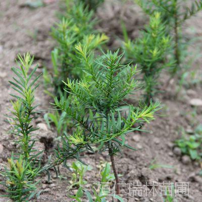供应东北红豆杉树苗 红豆杉盆景 红豆杉苗价格 红豆杉基地