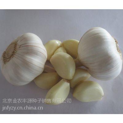 秋季大蒜种子批发价格