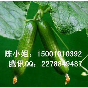 供应荷兰进口黄瓜种子,无刺黄瓜种子