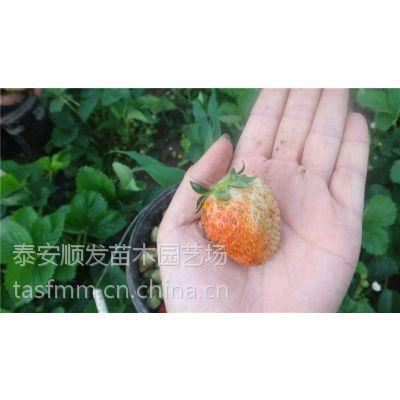 曲阜丰香草莓苗基地,丰香草莓栽子批发价格出售