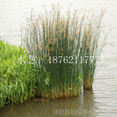低价供应水生植物 水葱 细叶水葱苗 水生花卉 绿化苗木直销基地