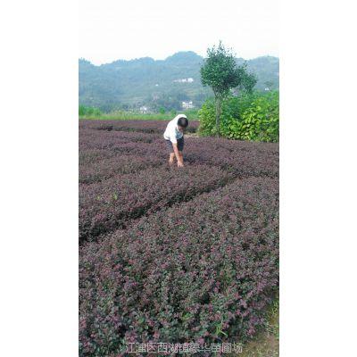 红花继木供应 重庆优质红花继木基地苗