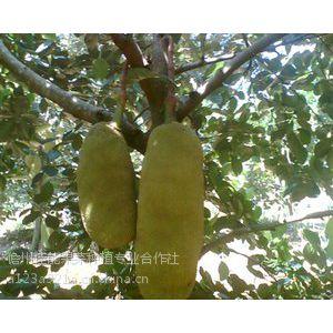 海南热带水果基地、微商代理一手货源、芒果,菠萝蜜,量大,诚招代理