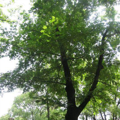常年供应枫杨 枫杨苗 枫杨树 自产自销 基地种植 量大优惠 行道树绿化苗木