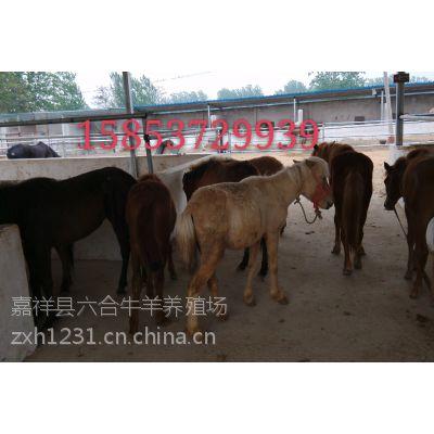 供应矮马 矮马价格 【矮马出售】矮马出售价格