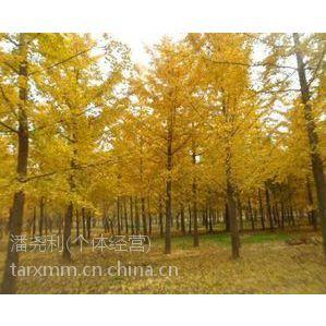 供应银杏树小苗 6公分银杏树 7公分银杏树 15公分银杏树