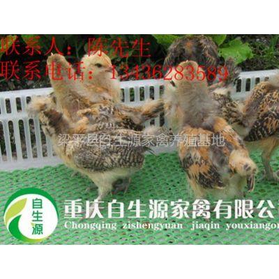 供应优质土鸡品种选择要点,重庆四川贵州优质土鸡苗价格