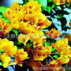 批发三角梅盆栽苗木重瓣三角梅树苗红色 三角梅盆景橘黄 攀缘花卉