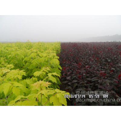 供应出售丛生紫叶矮樱供应内蒙丛生紫叶矮樱工程苗