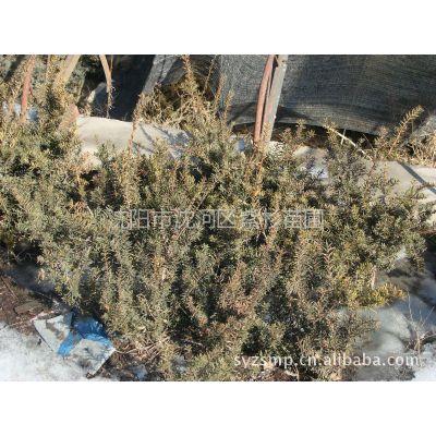 供应出售优质高纯度东北红豆杉苗20cm-260cm 美观 价格优惠