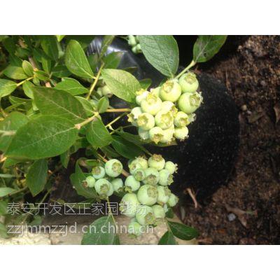 蓝莓的种植选择 咨询泰安正家园艺场15698130488 蓝莓苗价格