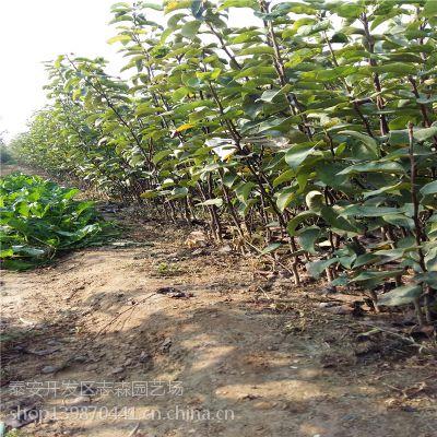 志森园艺早熟梨树苗品种 早熟新梨7号梨树苗价格 汁多 味田 高产