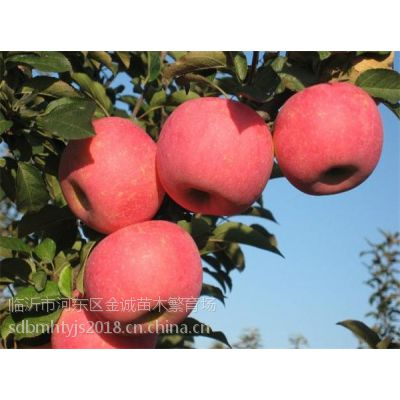 矮化烟富8苹果苗,自根砧神富一号苹果苗,金诚苗木