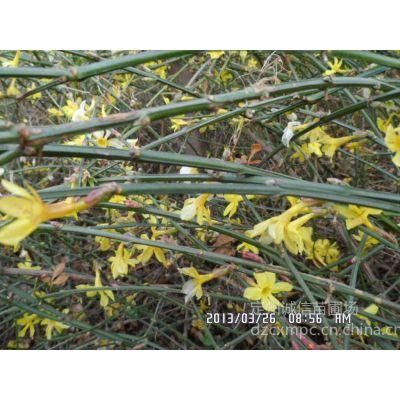 供应迎春种植基地大量出售迎春供应北京天津优质迎春