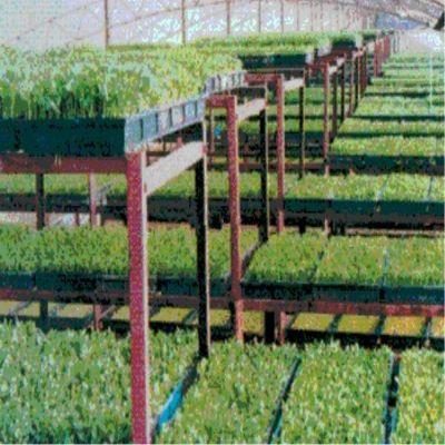 供应芽苗菜系列乾坤牌香椿种子香椿芽无土栽培技术