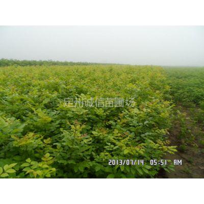 供应河北白蜡苗种植基地保定白蜡苗价格