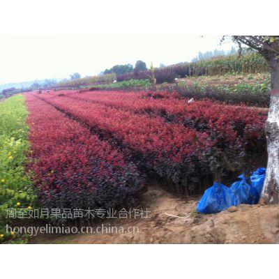 《陕西红叶李/营养钵红叶李/丛生紫叶李》适合新疆生长的红叶李