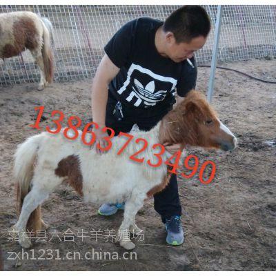 矮马出售_矮马出售价格_优质矮马出售批发/购买