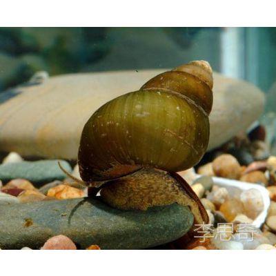 野生鲜活小田螺唆螺石螺小螺蛳麻辣螺蛳铁螺蛳尖螺口味螺