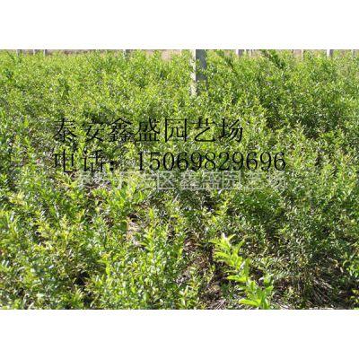 供应石榴苗供应|优质石榴苗|