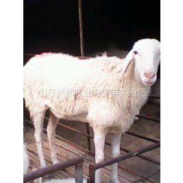 供应陕西小尾寒羊价格波尔山羊养殖西安肉羊养殖场