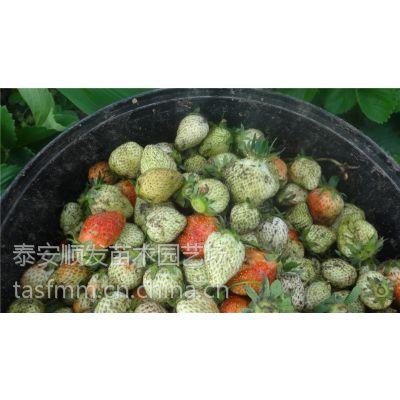 平度牛奶草莓苗价格,四季草莓苗批发基地,品种纯