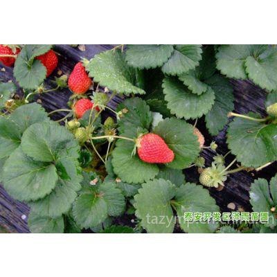 供应哪里有草莓苗%山东草莓苗苗%河北草莓苗%泰安泽雨苗圃苹果苗