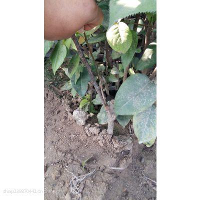 绿宝石梨树苗价格 黄金梨树苗价格 翠冠梨树苗价格