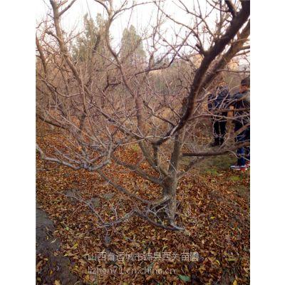 绿舟苗木出售1.3公分石榴树到15公分现货石榴树苗哪里有,结果早,种植盆景,造型树