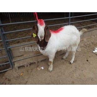 供应白山羊增重诀窍,山东的肉羊养殖场