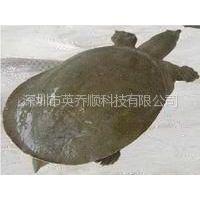 供应浙江甲鱼仿生态养殖技术-中华鳖苗价格【长寿鳖】