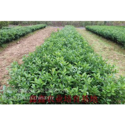 宜州哪里有皇帝柑树苗批发