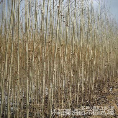 基地供应杨树苗2025 速生白杨树苗量大优惠