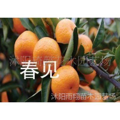 出售果树 橘子树  柑桔(春见)
