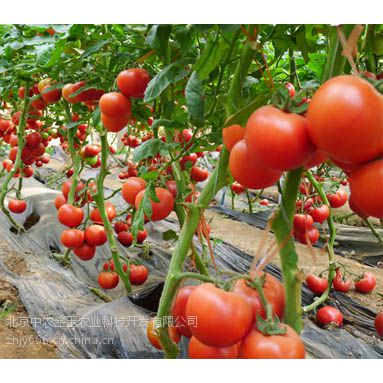 国产金玉瑞特f1-抗ty红果番茄种子