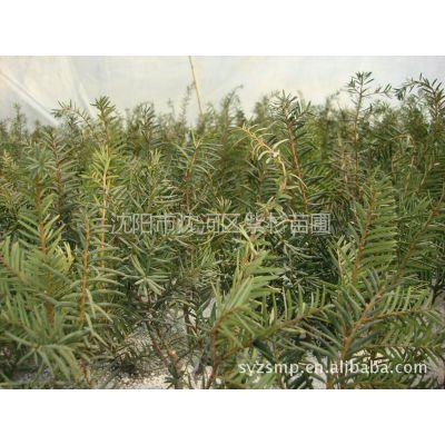供应出售高成活率东北红豆杉、曼地亚红豆杉2年苗,颜色好看,美观