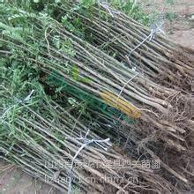 大刺皂角苗50到120公分,粗度1-10公分皂角树,绿舟苗木基地出圃