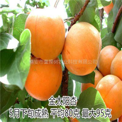 珍珠油杏树苗 杏树苗价格 杏树苗 壹棵树农业直销