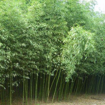 批发刚竹绿化工程庭院绿化苗木 刚竹苗 四季常青竹子小苗 规格齐全 量大优惠