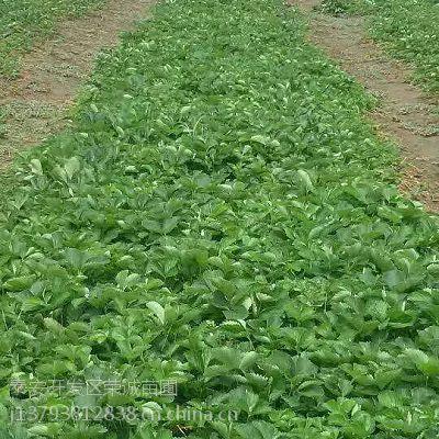 批发草莓种苗基地 奶油草莓苗哪里有