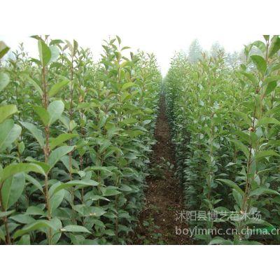 大叶女贞小树苗是新建苗圃乔木品种