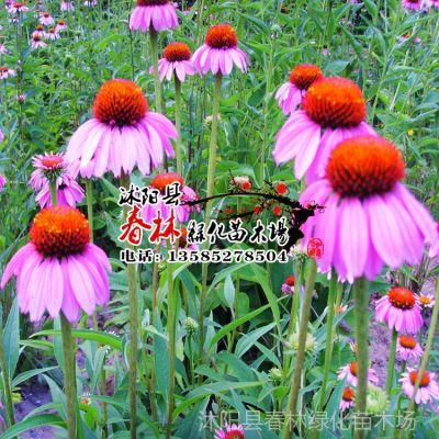 供应批发进口 花卉种子 紫松果菊种子 紫锥菊 种子 花卉种子 包发芽率